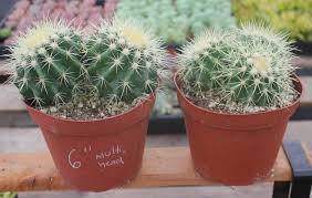 golden barrel ornamental cactus echinocactus grusonii potted multi