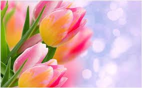 Wallpaper Bunga Tulip | bunga tulip flower wallpaper bunga tulip flower wallpaper 1080p