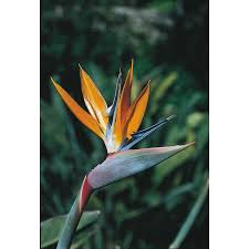 birds of paradise flower shop 2 25 gallon mixed bird of paradise flowering shrub l3068 at