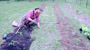 how to plant your garden tomatoes cover cropping zone tilling