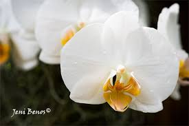 white orchids arts photography of white orchid br peace