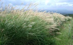 beautiful ornamental grass miscanthus sinensis