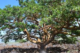 division of forestry and wildlife wiliwili tree from hawaii