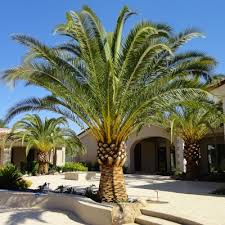 sylvester palm tree sale canary island date palm install large date palm 6 clear trunk