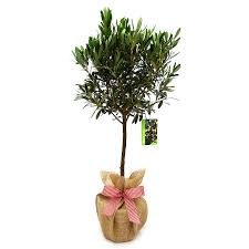 olive tree gift christmas plants plants and gardens