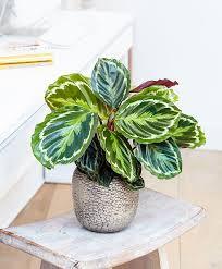 calathea roseopicta u0027medallion u0027 aka prayer plant cat safe
