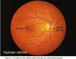 simple anatomy of the retina by helga kolb u2013 webvision
