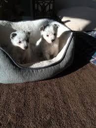 american eskimo dog houston glenburn me american eskimo dog mix meet sy a dog for