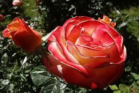 free photo roses red flower garden free image on pixabay