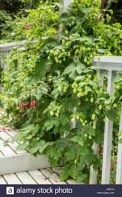 hops plant with cones growing as a climbing plant up the side of a