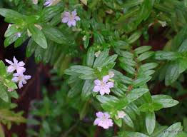 Garden Plants Names And Pictures by Cuphea Hyssopifolia Plant List Tropical Potager Pinterest