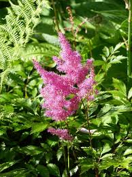 Summer Garden Plants - astilbe how to plant grow and care for astilbe flowers the