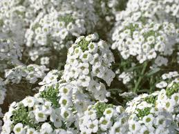 snow princess sweet alyssum lobularia hybrid proven winners