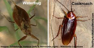How To Get Rid Of Roaches In The Bathroom Waterbug What It Is And How To Effectively Get Rid Of It
