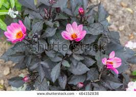 Pink Primrose Flower - showy evening primrose stock images royalty free images u0026 vectors