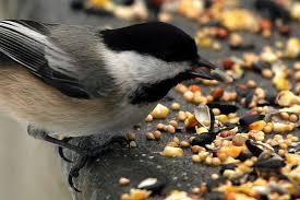 The Backyard Bird Company - choose the best birdseed for your backyard birds