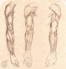 Anatomy Of The Right Arm Anatomy Study Right Arm By Thiagoarvore On Deviantart