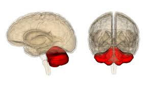 Image Of Brain Anatomy Brain Anatomy The 4 Lobes Structures And Functions