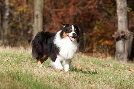 lifespan of australian shepherd 15 dog breeds that have a longest lifespan and live a long life