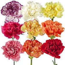 Flowers Wholesale Carnation Eflowy Fresh Cut Flowers Wholesale Carnations