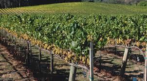 Trellis Wine Managing Vines Organically Wines U0026 Vines