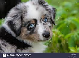 australian shepherd york australian shepherd puppies are agile energetic and mature into