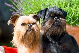 affenpinscher vs brussels griffon brussels griffon dog breed information pictures characteristics