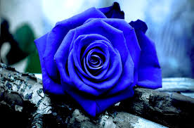 blue roses blue roses wallpapers flowers blue roses
