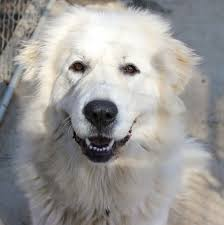 great pyrenees rescue provides wonderful dogs to good homes dog for adoption daisy near richmond va petfinder