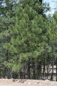 vascular plants of the gila wilderness vascular plants of the gila wilderness pinus arizonica