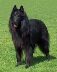 belgian sheepdog size and weight belgian shepherd dog groenendael breed information history
