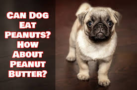 dog peanut butter can dog eat peanuts how about peanut butter teacupdogdaily