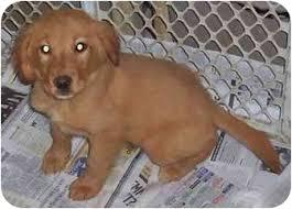 australian shepherd kc tilly adopted puppy kansas city mo golden retriever