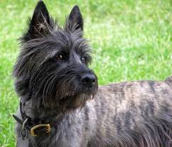 cairn hair cuts walker the cairn terrier dogs daily puppy