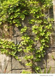 18 valuable vines hgtv vine plants peeinn com