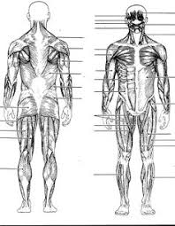 human anatomy physiology muscles online hubpages there are
