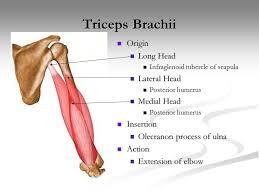 Supraglenoid Tubercle Anatomy Muscular System Skeletal Muscle Characteristics U0026 Function