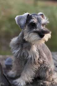 affenpinscher a vendre get 20 giant schnauzer for sale ideas on pinterest without