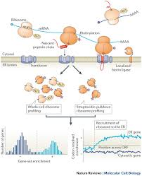 ribosome profiling reveals the what when where and how of
