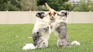 australian shepherd youtube tricks group of dogs perform the most amazing tricks together
