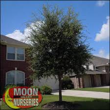 moon valley nursery live oak tree quercus virginiana buy live oak