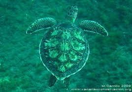 imagenes tortugas verdes tortugas canarias conservación cetacean research society
