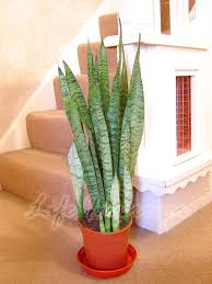 mother in law houses 1 mother in law u0027s tongue good luck snake plant in pot evergreen