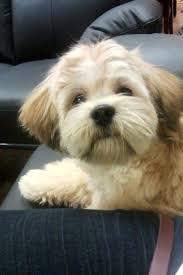 shichons haircut shichon express fun puppy pictures