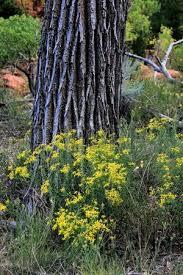 Cottonwood Tree Flowers - cottonwood creek stock photos royalty free cottonwood creek
