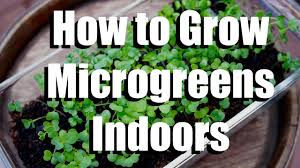 how to grow microgreens indoors growing your indoor garden 1