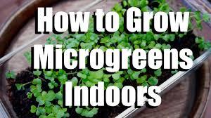 how to grow microgreens indoors growing your indoor garden 1