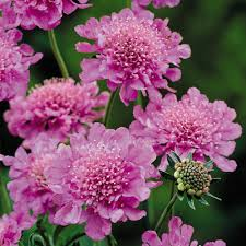 bentley pink diamonds buy scabiosa pink diamond plants j parker dutch bulbs