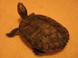 Ringed Map Turtle Charlie Turtle Affairs