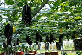 hanging melons very cool you could grow your vines over your